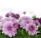 Mum Flowers — Stock Photo