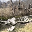 Stock Photo: Elephant Skeleton