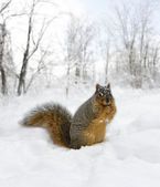Squirrel On The Snow — Stock Photo