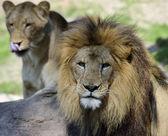 Couple Of Lions — Stock Photo