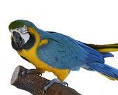 Papoušek papoušek sedící — Stock fotografie
