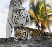 White And Brown Tigers — Stock Photo