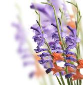 Flores del gladiolo — Foto de Stock