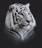 White Tiger Portrait — Stock Photo