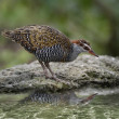 Buff-Banded Rail Bird — Stock Photo