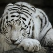 Portrait Of White Tiger - Stock Photo