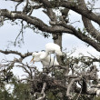 Great Egrets — Stock Photo