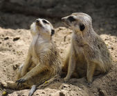 Meerkats — Stock Photo