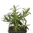 Rosemary Herb - Stock Photo