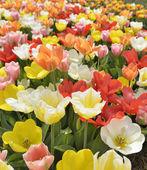 разноцветные тюльпаны — Стоковое фото