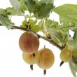 Gooseberries  On A Bush - Stock Photo