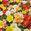 Stock Photo: Field Of Tulip Flowers