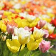 Tulip Flowers With Sunlight — Stock Photo