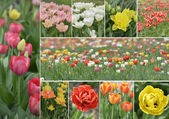 Tulip Flowers Collection — Stock Photo