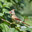Female Northern Cardinal — Stock Photo