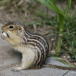 Thirteen-Lined Ground Squirrel — Stock Photo