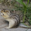 Thirteen-Lined Ground Squirrel — Stock Photo #30472669