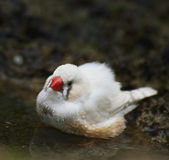 Zebra Finch Taking A Bath — Stock Photo