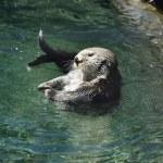 Постер, плакат: Wild Sea Otter