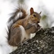 American Grey Squirrel — Stock Photo