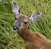 Whitetail Deer Female — ストック写真