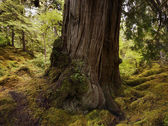 Large Old Tree In The Rain Forest — Stock Photo