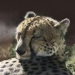 ������, ������: Resting Cheetah