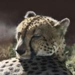 Постер, плакат: Resting Cheetah