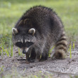 Young Raccoon — Stock Photo