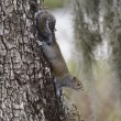Stock Photo: Gray Squirrel