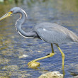 Tricolored Heron — Stock Photo