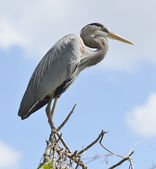 Great Blue Heron Perching — Stock Photo