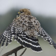 Постер, плакат: Red Shouldered Hawk Perching