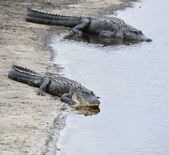American Alligators — Stock Photo