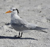 Elegant Tern Seabird  — Stock Photo