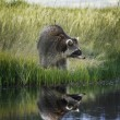 Raccoon On Grassy Bank — Stock Photo #48894977