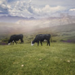 Grazing Cows  — Stock Photo #50679657