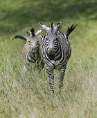 Zebras — Stockfoto