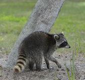 Young Raccoon — Stock Photo