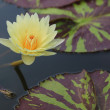 Waterlily, lotus blooming in the tropical garden — Stock Photo