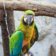 Blue and Gold macaw, Scientific name Ara ararauna bird — Stock Photo