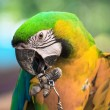 "Blue and Gold macaw, Scientific name ""Ara ararauna"" bird — Stock Photo"