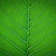 Green leaf texture - Foto de Stock