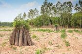 Tapioca Plants, Cassava — Stock Photo
