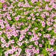 "Flower in garden background names ""Cape Periwinkle"" — Stockfoto #41651955"