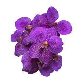 Purple Orchid, Vanda flower on white background — Stock Photo