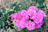 Rose flowers bunch, pink color — Stock Photo