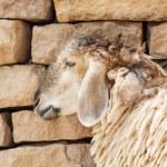 Sheep lean the wall — Stock Photo