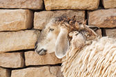 Sheep lean the wall — Stock Photo