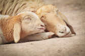 Little Lamb with Mother sheep sleeping — Stock Photo